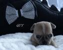 Chihuahua 3,5 tygodnia