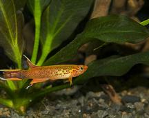 Aphyosemion. australe