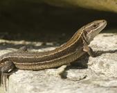 Jaszczurka zwinka - Lacerta agilis