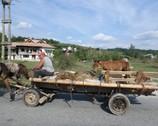 Transport źrebaków