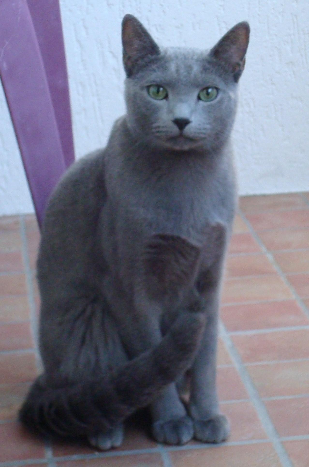 Nasze Koty Koty Rosyjskie Niebieskie Hodowla Carski Błękit
