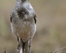 Pliszka siwa - Motacilla alba