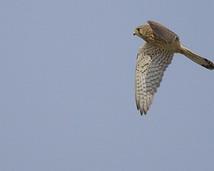 Pustułka - Falco tinnunculus
