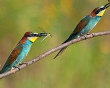 Żołna - Merops apiaster