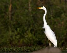 Czapla biała - Egretta alba