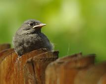 Kopciuszek - Phoenicurus ochruros