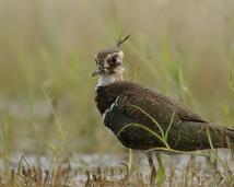 Czajka - Vanellus vanellus