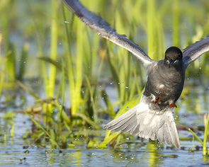 Rybitwa czarna - Chlidonias niger