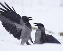 Wrona siwa  - Corvus cornix