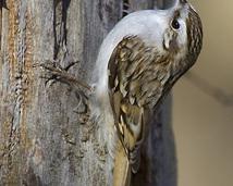 Pełzacz leśny - Certhia familiaris