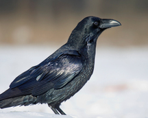Kruk - Corvus corax