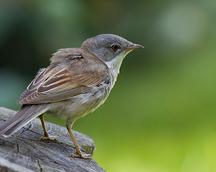 Cierniówka - Sylvia communis