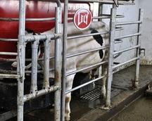 W trakcie doju krowy dostają porcje paszy treściwej
