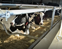 Wygodne legowiska dla krów