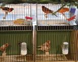 kanarki i zeberki