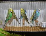 posturalne papużki faliste