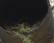 Gniazdo muchołówki szarej