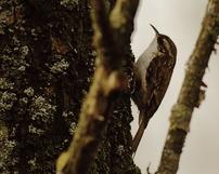 Pełzacz leśny, Certhia familiaris, 21/02/2012, 400mm, f/5.6, s.250, iso 640