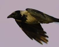 Wrona siwa, Corvus cornix, 24/12/2011, 400mm, f/7.1, s.400, iso 640