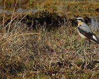 Białorzytka, Oenanthe oenanthe, 22/04/2012, 400mm, f/11, s.1000, iso 640, godz.14.30