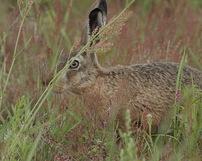 Zając szarak, Lepus europaeus, 21/07/2012, 400mm, f/7.1, s.400, iso 200, godz.15.36