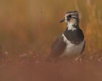 Czajka zwyczajna, Vanellus vanellus, 22/09/2013, 400mm, f/5.6, s.2500, iso 400, godz. 13.35