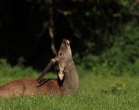Jeleń sika