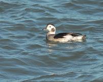 Lodówka,Long-tailed duck, 04/11/2020