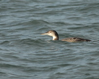 Lodowiec, Common loon, 17/12/2020