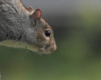 Wiewiórka szara