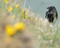 Kruk, Corvus corax, 11/05/2013, 400mm, f/5.6, s.1000, iso 640, godz. 14.26