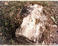 Cmentarz w Kozinie - widoczne pozostałości nagrobków