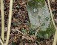 Cokół stylizowany na ścięty pień drzewa dębowego (Janowice)