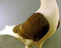 Śląski tarczowy