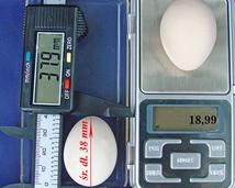 Serama jajka (egg) /rozmiar.waga