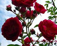 Różą pnąca, drobnokwiatowa