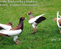 Sroka Krakowska (EE 0808/PL)