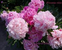 Peonia rose