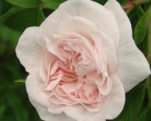Róża /stara odmiana/