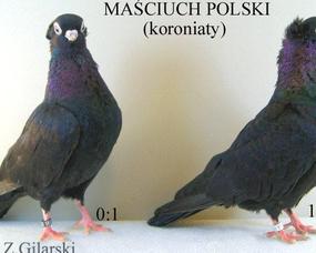 Mąsciuch pl.-para wzorcowa
