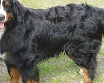 Berneński pies pasterski