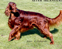 Seter irlandzki