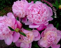 Peonia różowa