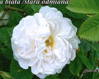 Róża biała /bez nazwy/