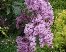 Lilak węgierski