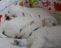 40 dzień szczeniaków - nadal uwielbiamy spać :)