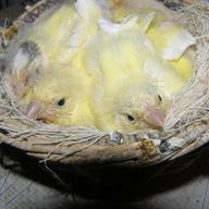 Cztery samczyki 2012 r