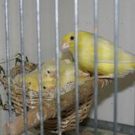 Młode kanarki harceńskie z mamą 2012 r