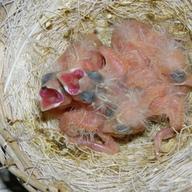 Ostatnie młode w 2013 r koniec lęgów 62 młodych. Recent Young in 2013 y the end of 62 young broods.