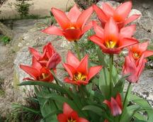 Tulipany skałkowe
